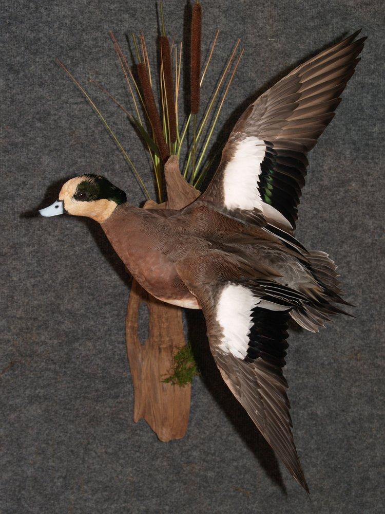 Wood Duck Mounts